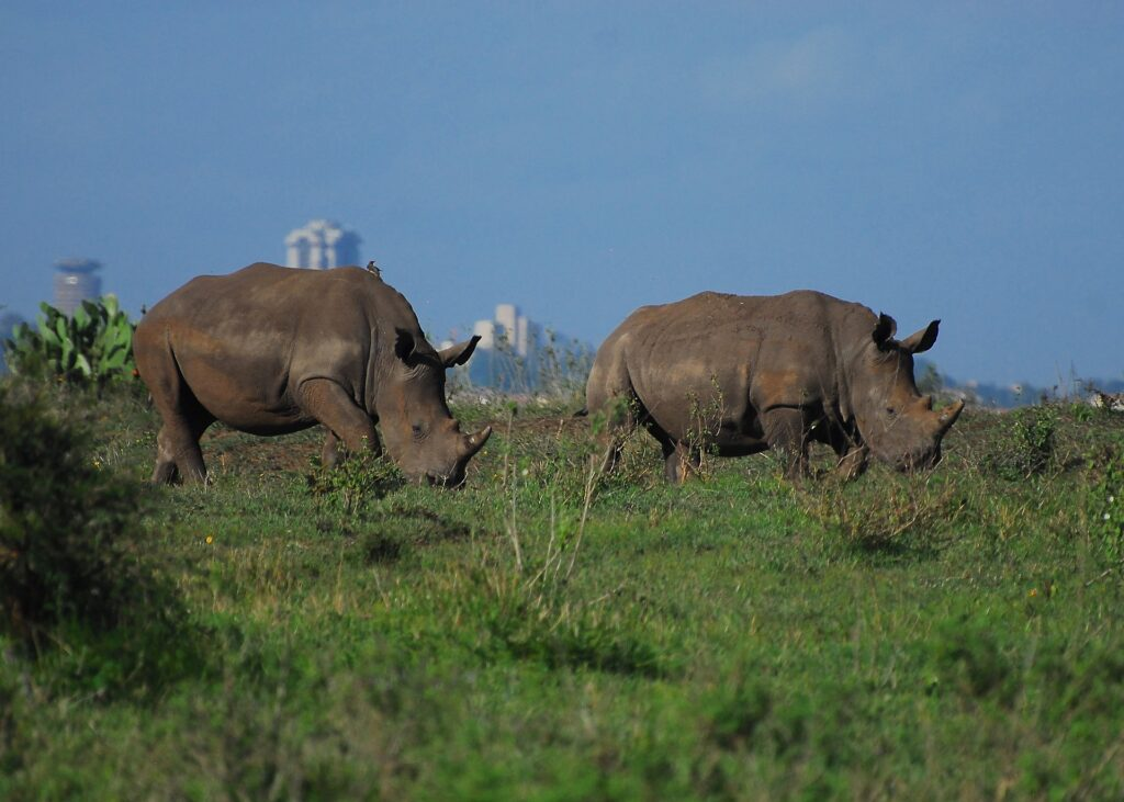 Nairobi national park rhinos