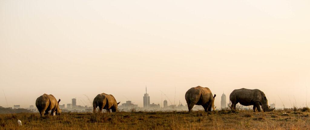rhinos in Nairobi national park dusk